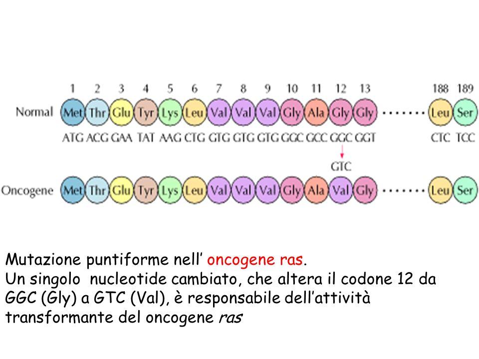 Mutazione puntiforme nell' oncogene ras.