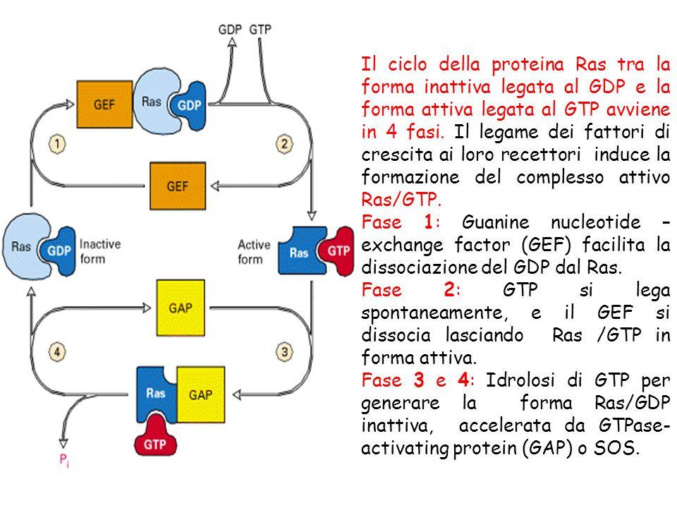 Il ciclo della proteina Ras tra la forma inattiva legata al GDP e la forma attiva legata al GTP avviene in 4 fasi. Il legame dei fattori di crescita ai loro recettori induce la formazione del complesso attivo Ras/GTP.