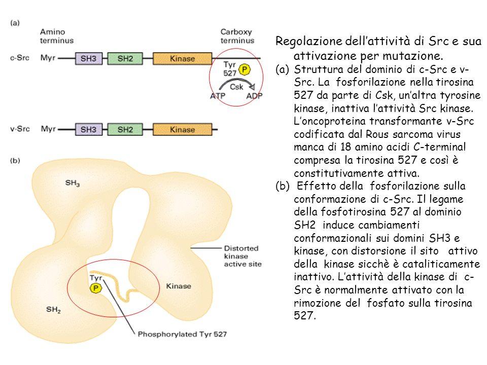 Regolazione dell'attività di Src e sua attivazione per mutazione.