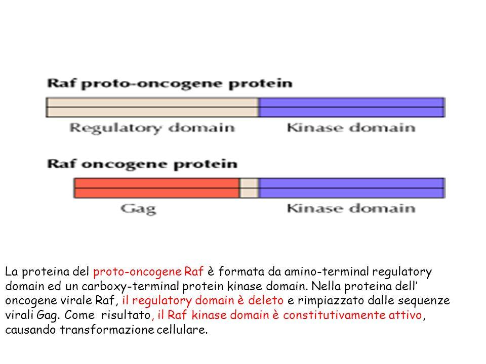 La proteina del proto-oncogene Raf è formata da amino-terminal regulatory domain ed un carboxy-terminal protein kinase domain.