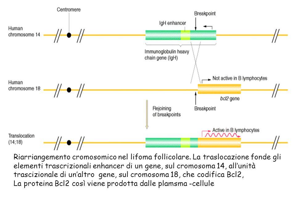 Riarriangemento cromosomico nel lifoma follicolare