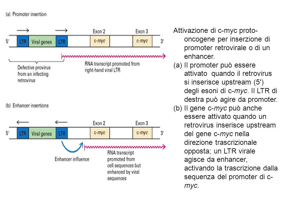 Attivazione di c-myc proto-oncogene per inserzione di promoter retrovirale o di un enhancer.