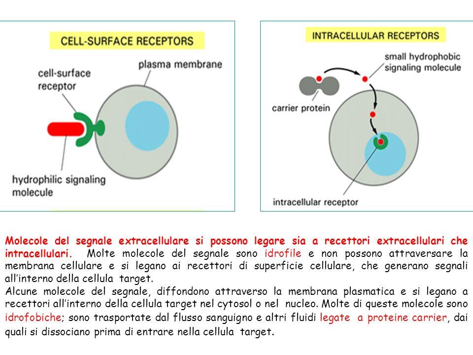 Molecole del segnale extracellulare si possono legare sia a recettori extracellulari che intracellulari. Molte molecole del segnale sono idrofile e non possono attraversare la membrana cellulare e si legano ai recettori di superficie cellulare, che generano segnali all'interno della cellula target.