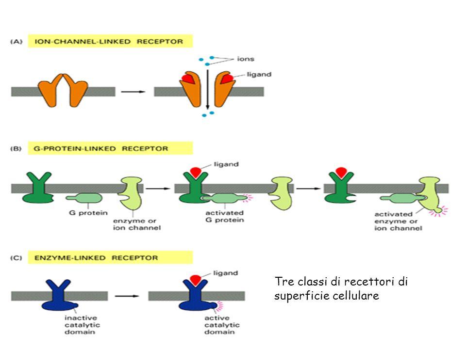 Tre classi di recettori di superficie cellulare