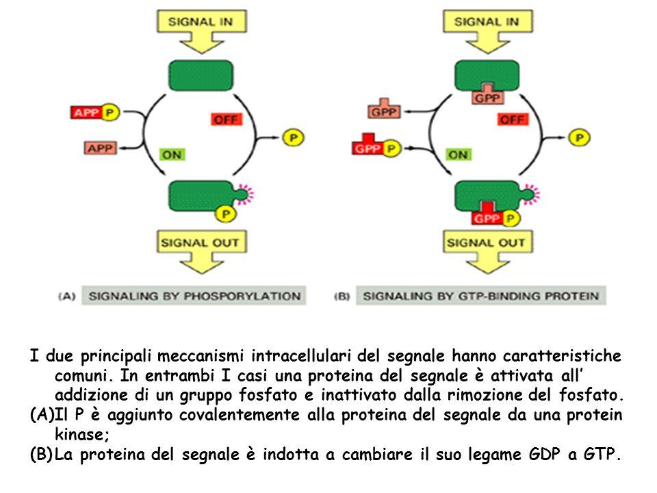 I due principali meccanismi intracellulari del segnale hanno caratteristiche comuni. In entrambi I casi una proteina del segnale è attivata all' addizione di un gruppo fosfato e inattivato dalla rimozione del fosfato.