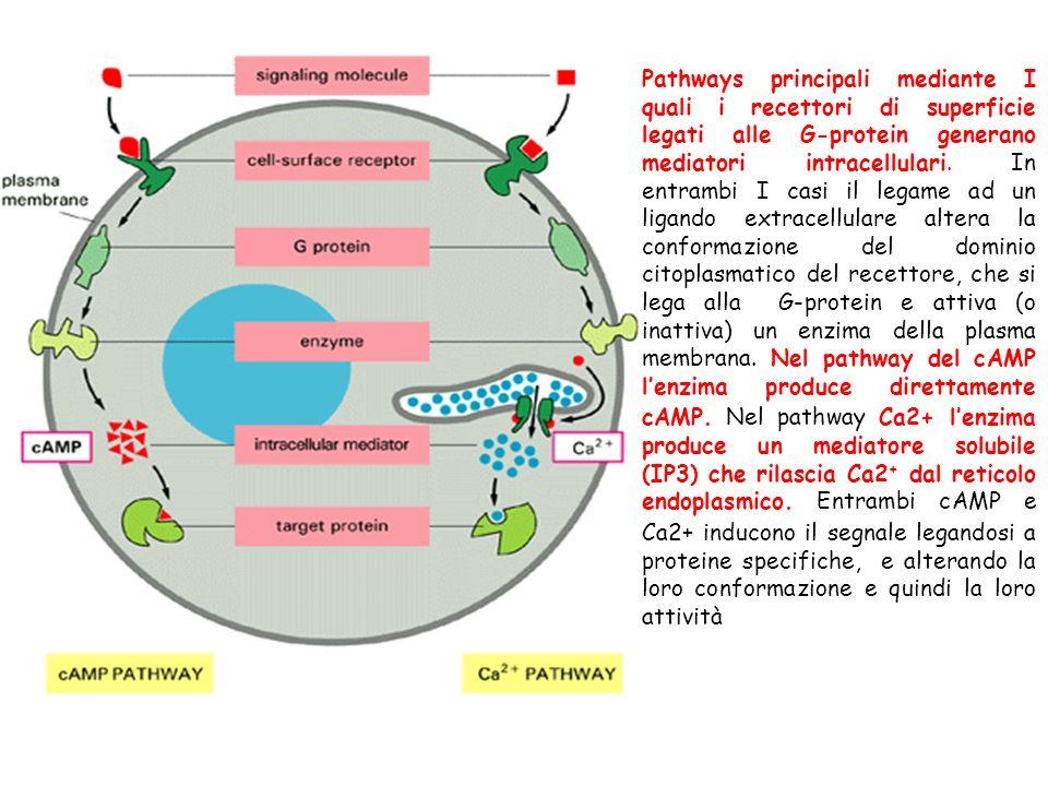 Pathways principali mediante I quali i recettori di superficie legati alle G-protein generano mediatori intracellulari.