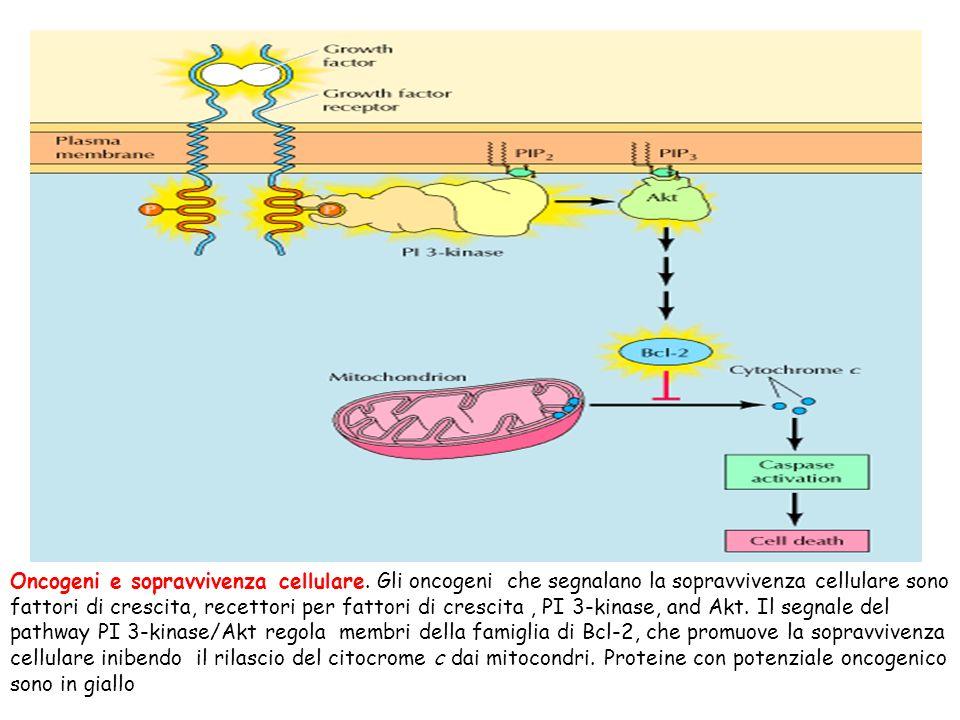 Oncogeni e sopravvivenza cellulare