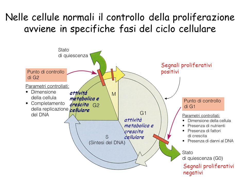 Nelle cellule normali il controllo della proliferazione avviene in specifiche fasi del ciclo cellulare