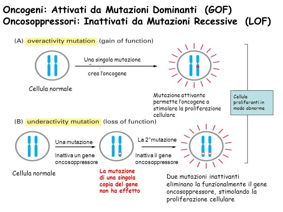 Oncogeni: Attivati da Mutazioni Dominanti (GOF) Oncosoppressori: Inattivati da Mutazioni Recessive (LOF)