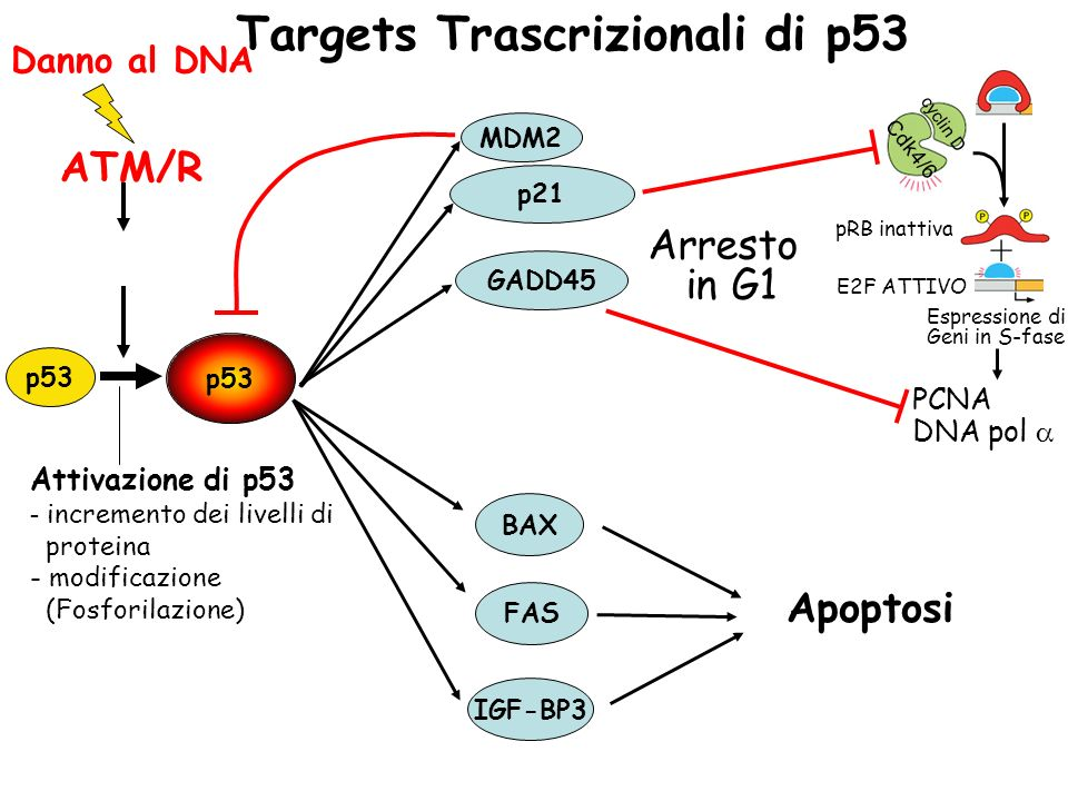 Targets Trascrizionali di p53