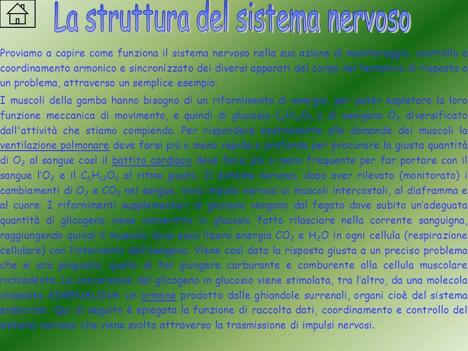 La struttura del sistema nervoso