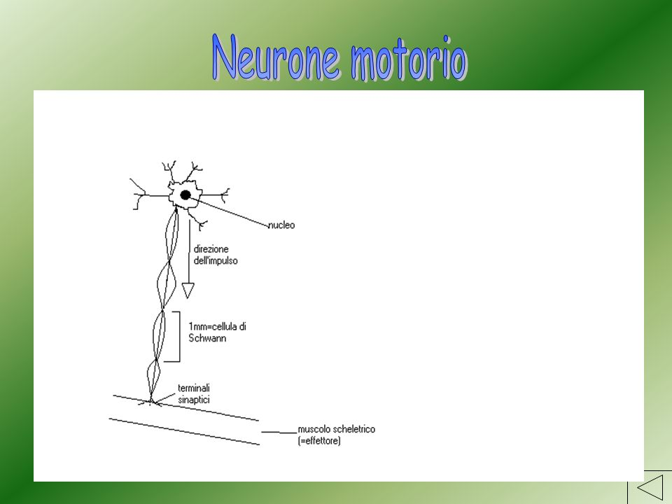 Neurone motorio