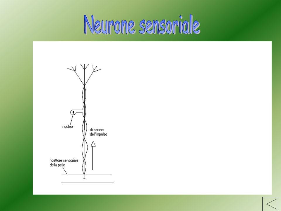Neurone sensoriale