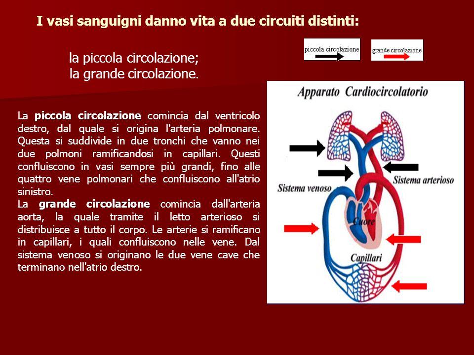I vasi sanguigni danno vita a due circuiti distinti: