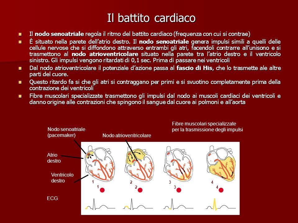 Il battito cardiaco Il nodo senoatriale regola il ritmo del battito cardiaco (frequenza con cui si contrae)