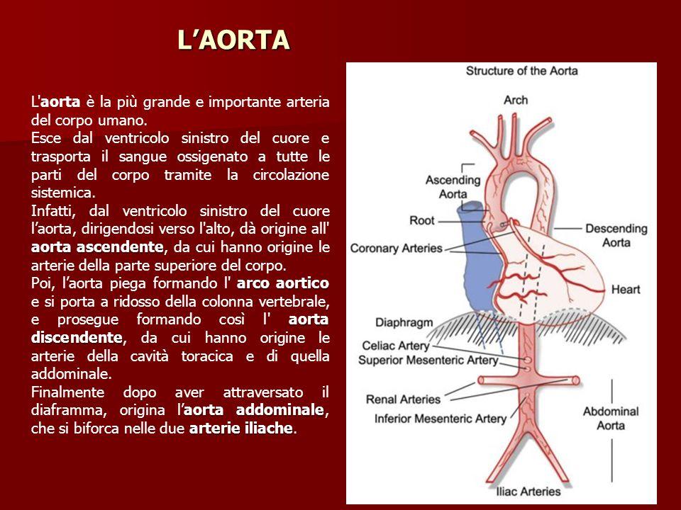 L'AORTA L aorta è la più grande e importante arteria del corpo umano.