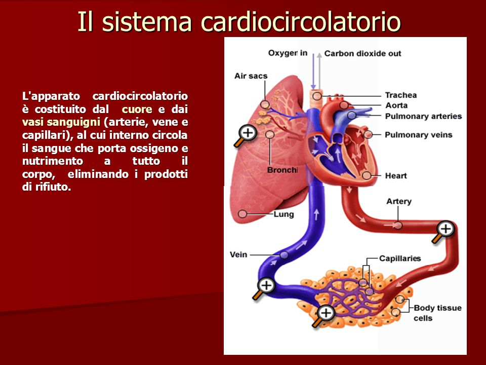 Il sistema cardiocircolatorio