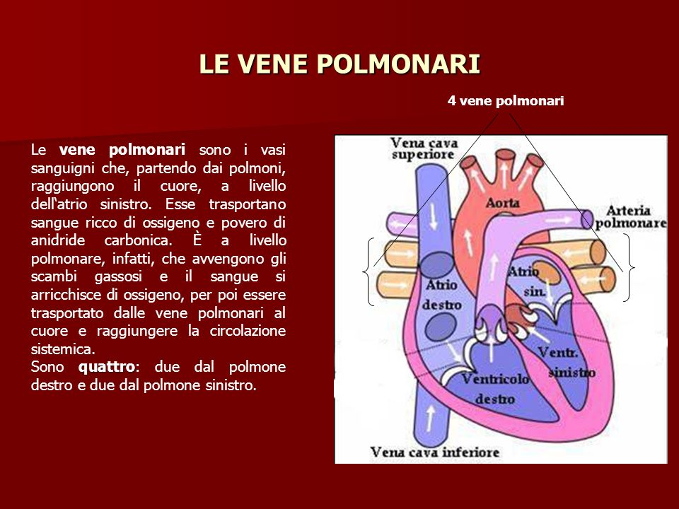 LE VENE POLMONARI 4 vene polmonari.