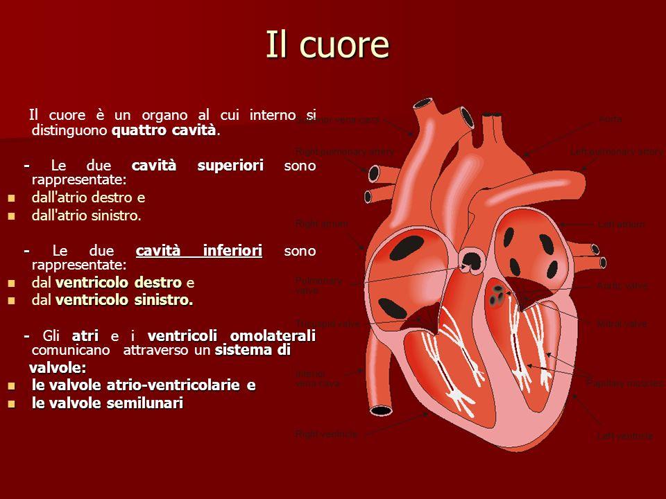 Il cuore Il cuore è un organo al cui interno si distinguono quattro cavità. - Le due cavità superiori sono rappresentate: