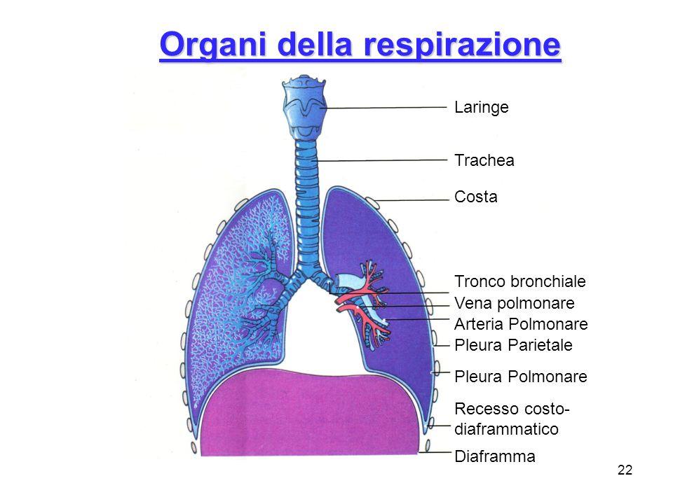Organi della respirazione