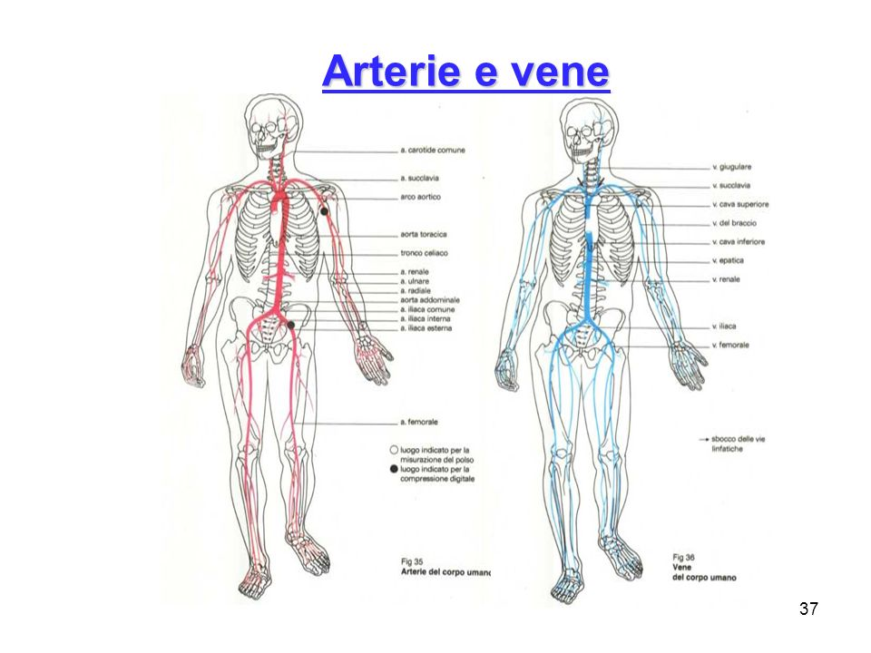 Niedlich Anatomie Und Physiologie Der Venen Und Arterien Galerie ...
