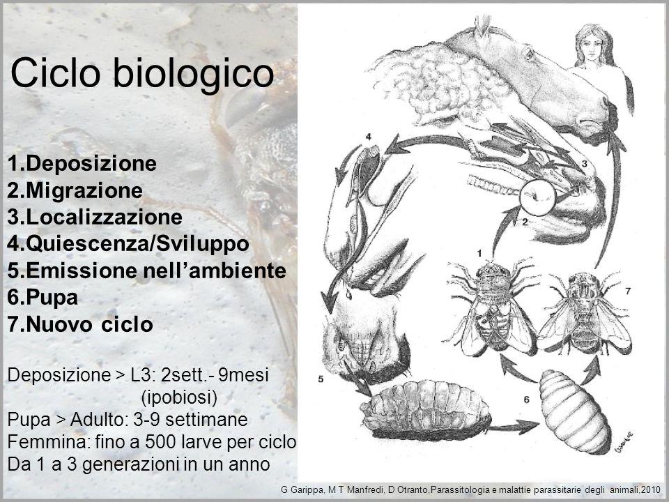 Ciclo biologico 1.Deposizione 2.Migrazione 3.Localizzazione