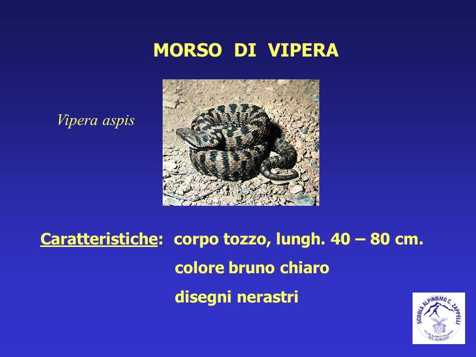 MORSO DI VIPERA Vipera aspis