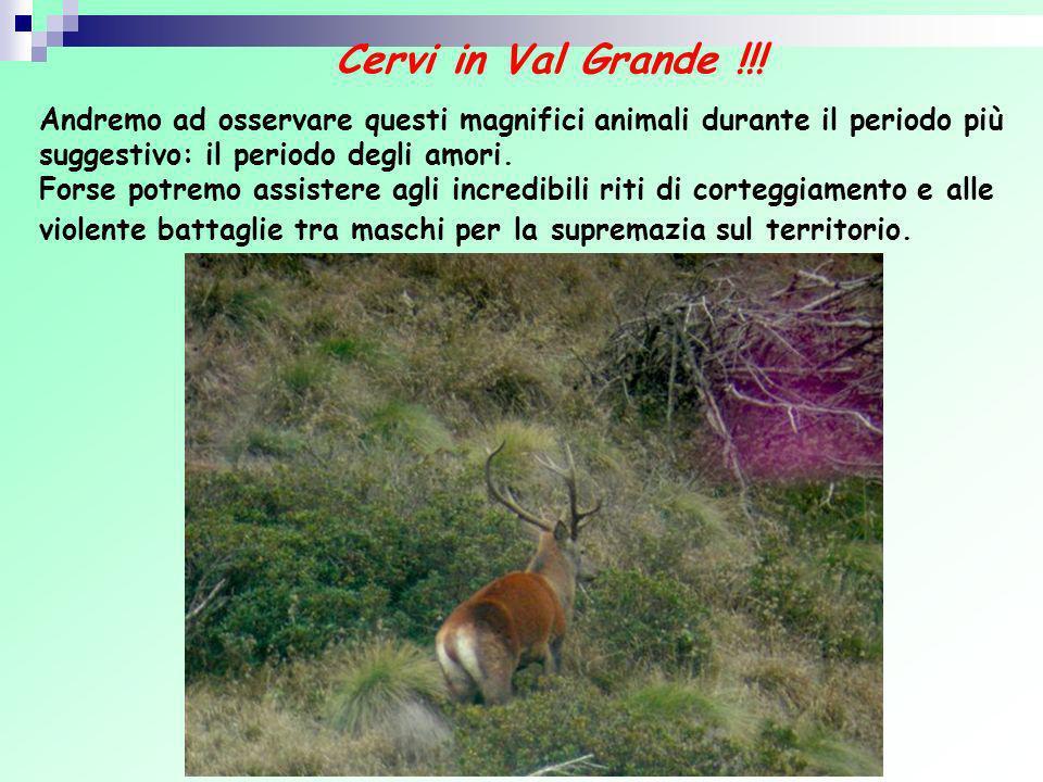 Cervi in Val Grande !!! Andremo ad osservare questi magnifici animali durante il periodo più suggestivo: il periodo degli amori.