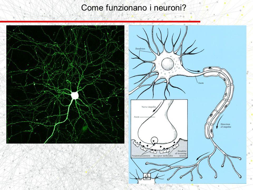 Come funzionano i neuroni