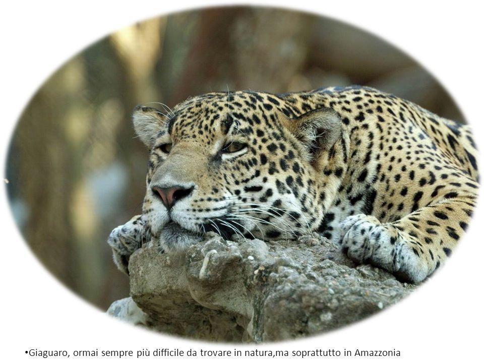 Giaguaro, ormai sempre più difficile da trovare in natura,ma soprattutto in Amazzonia