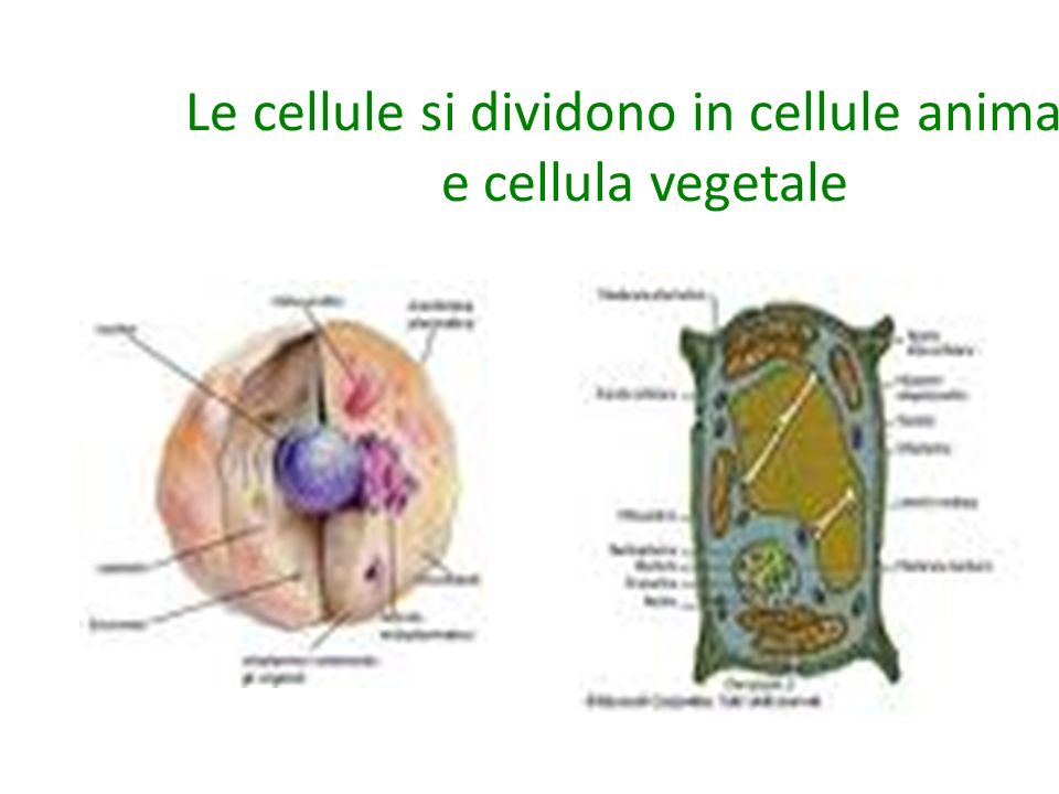 Le cellule si dividono in cellule animale e cellula vegetale