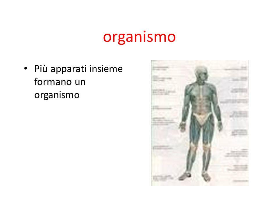 organismo Più apparati insieme formano un organismo