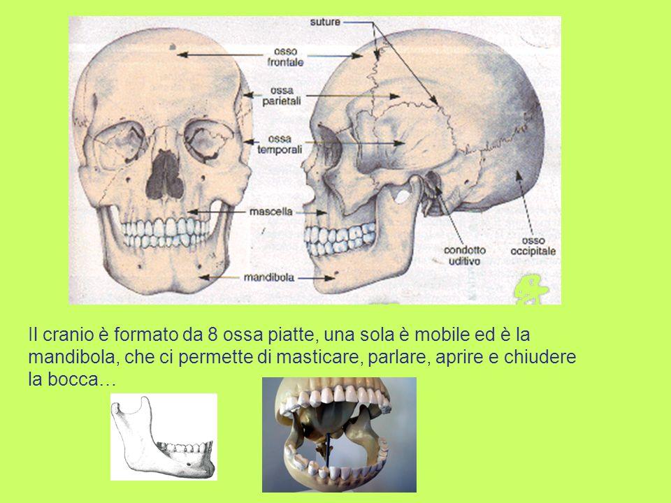 Il cranio è formato da 8 ossa piatte, una sola è mobile ed è la mandibola, che ci permette di masticare, parlare, aprire e chiudere la bocca…