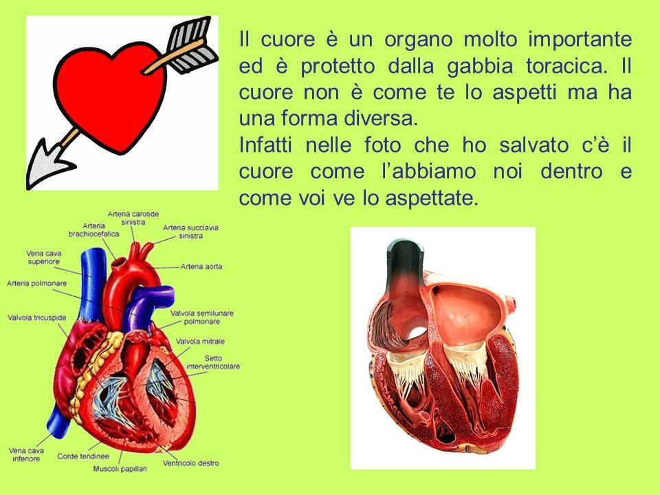 Il cuore è un organo molto importante ed è protetto dalla gabbia toracica. Il cuore non è come te lo aspetti ma ha una forma diversa.