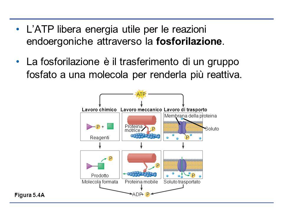 L'ATP libera energia utile per le reazioni endoergoniche attraverso la fosforilazione.