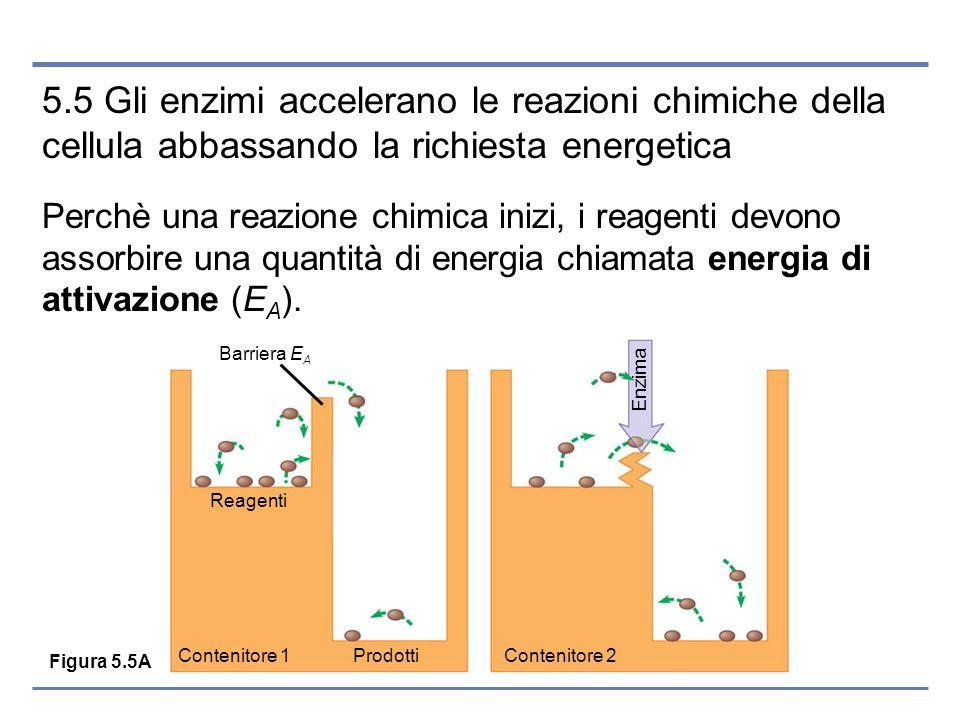 5.5 Gli enzimi accelerano le reazioni chimiche della cellula abbassando la richiesta energetica