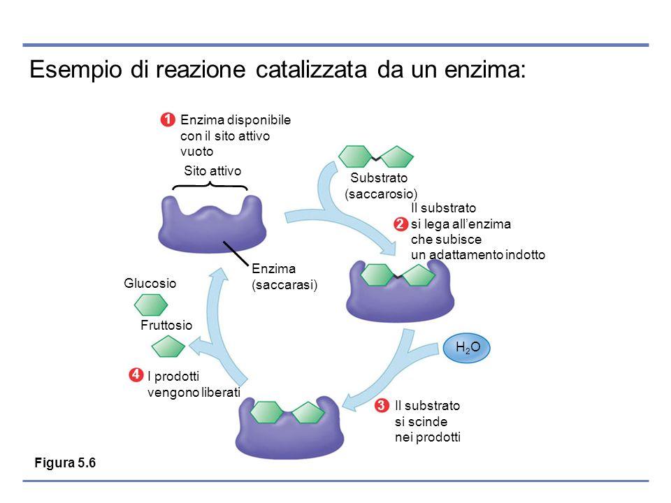 Esempio di reazione catalizzata da un enzima: