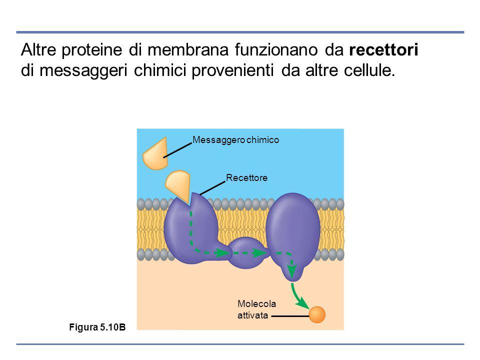 Altre proteine di membrana funzionano da recettori di messaggeri chimici provenienti da altre cellule.