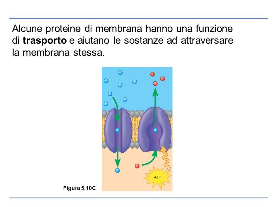 Alcune proteine di membrana hanno una funzione di trasporto e aiutano le sostanze ad attraversare la membrana stessa.