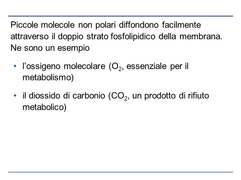 Piccole molecole non polari diffondono facilmente attraverso il doppio strato fosfolipidico della membrana. Ne sono un esempio