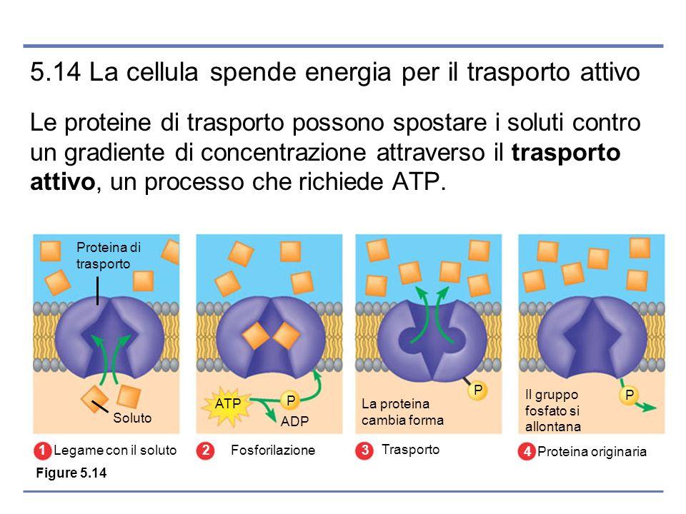 5.14 La cellula spende energia per il trasporto attivo