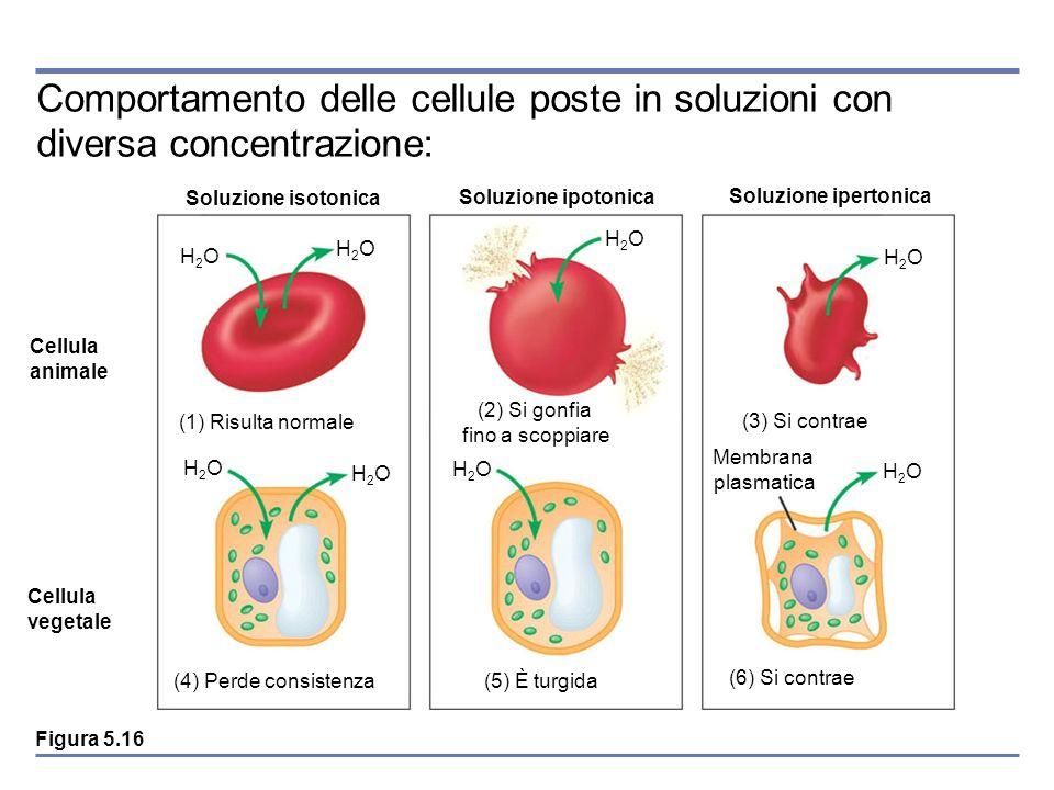 Comportamento delle cellule poste in soluzioni con diversa concentrazione: