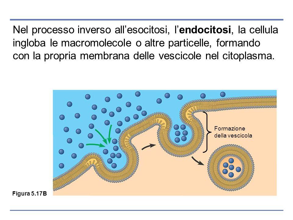 Nel processo inverso all'esocitosi, l'endocitosi, la cellula ingloba le macromolecole o altre particelle, formando con la propria membrana delle vescicole nel citoplasma.