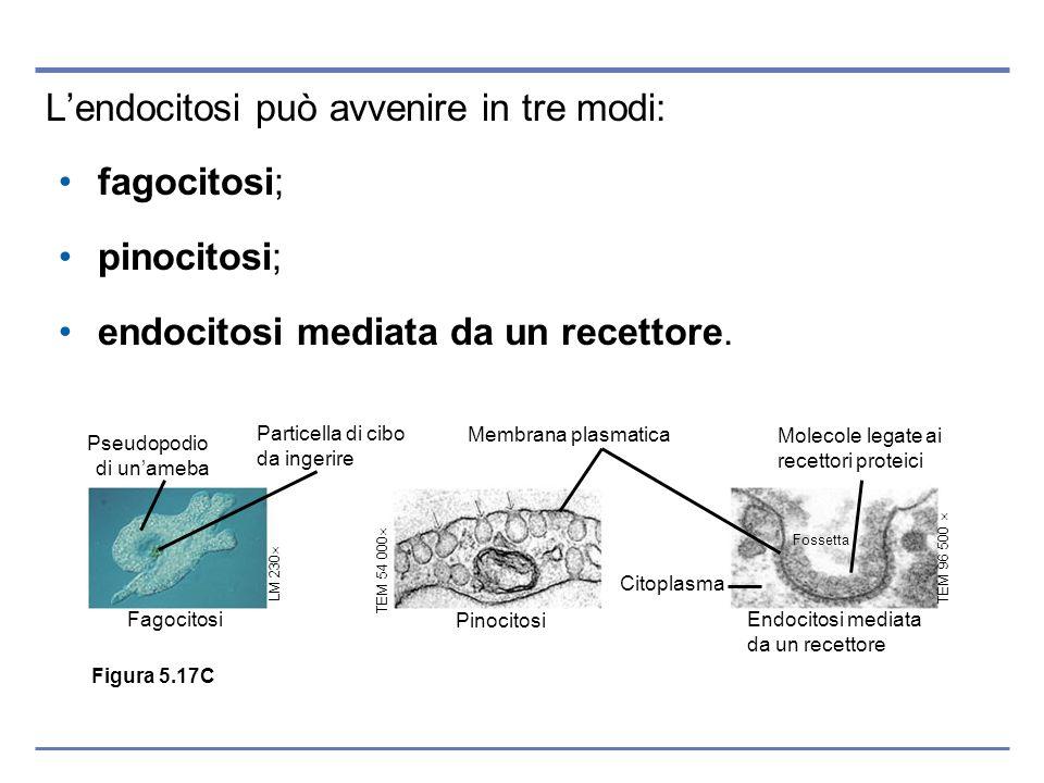 L'endocitosi può avvenire in tre modi: fagocitosi; pinocitosi;