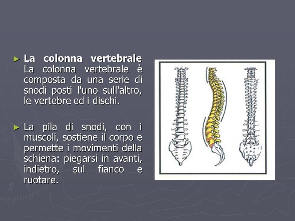 La colonna vertebrale La colonna vertebrale è composta da una serie di snodi posti l uno sull altro, le vertebre ed i dischi.