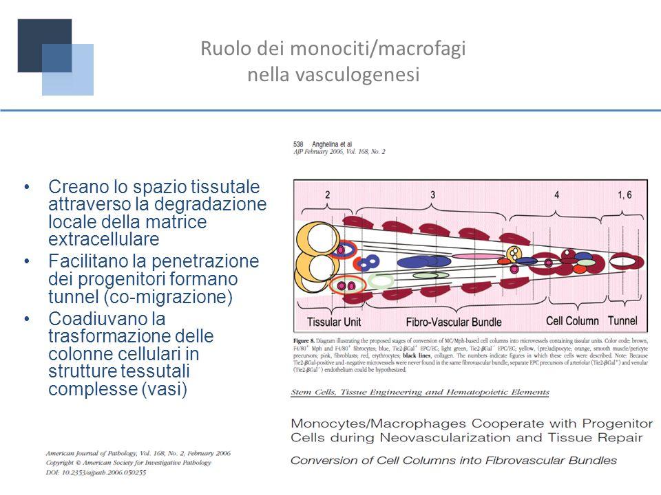 Ruolo dei monociti/macrofagi nella vasculogenesi