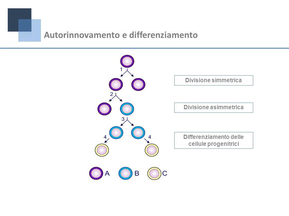 Divisione asimmetrica Differenziamento delle cellule progenitrici
