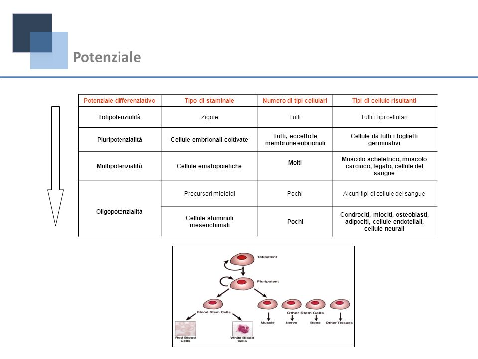 Potenziale Potenziale differenziativo Tipo di staminale