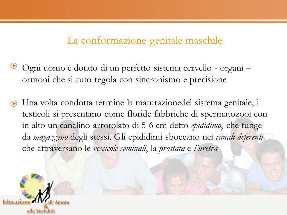 La conformazione genitale maschile