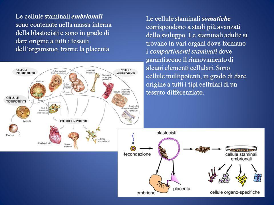 Le cellule staminali embrionali sono contenute nella massa interna della blastocisti e sono in grado di dare origine a tutti i tessuti dell'organismo, tranne la placenta